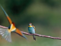 Bee-eater _J4X0251 copy