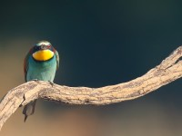 Bee-eater _J4X0290 copy