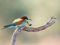 Bee-eater _J4X0886