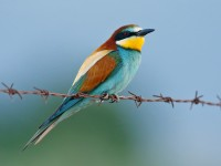 Bee-eater _J4X0900 copy