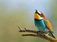 Bee-eater _M2A8310