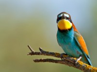 Bee-eater _M2A8315 copy