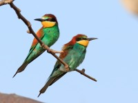 Bee-eater _M2A8877