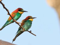 Bee-eater _M2A8883