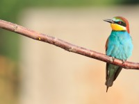 Bee-eater _M2A9026
