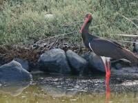 Black Stork  _M2A9342