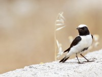Black-eared Wheatear _M2A9165