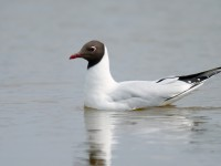 Black-headed Gull _J4X9921