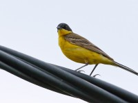 Black-headed Wagtail _M2A9528