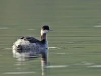 Black-necked Grebe _J4X7713 copy