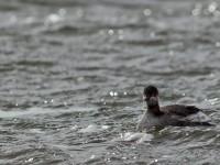 Black-necked Grebe _M2A4621