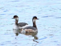 Black-necked Grebe _M2A5042