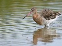 Black-tailed Godwit _J4X7720