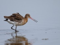 Black-tailed Godwit _J4X7758