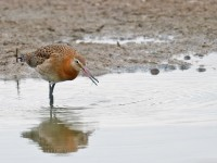 Black-tailed Godwit _J4X8772