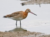 Black-tailed Godwit _J4X8848 copy