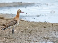 Black-tailed Godwit _J4X8857