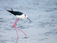 Black-winged Stilt _J4X1091