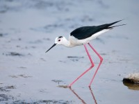 Black-winged Stilt _J4X1138