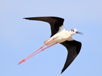 Black-winged Stilt _M2A9728