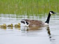 Canada Goose_J4X9862