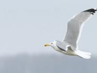 Caspain Gull adult _J4X2242 copy