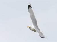 Caspain Gull adult _J4X2253