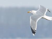 Caspian Gull _J4X2241