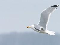 Caspian Gull _J4X2242