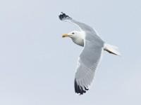 Caspian Gull _J4X2250