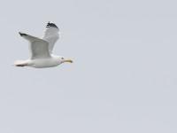 Caspian Gull _J4X2265 copy
