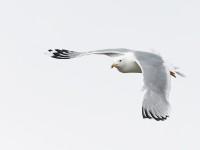Caspian Gull _J4X2374