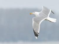Caspian Gull adult _J4X2241