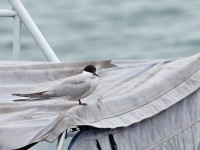 Common Tern - longipennis _J4X5510