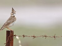 Crested Lark _M2A9448