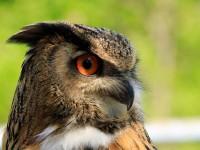 Eagle Owl _M2A6551