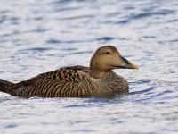 Eider Duck female _M2A5327 copy