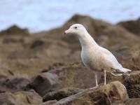 Glaucous Gull _M2A2827