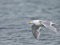 Glaucous-winged Gull _J4X2081