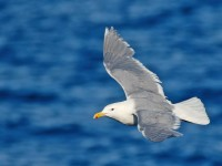 Glaucous-winged Gull _M2A2780