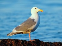Glaucous-winged Gull _M2A2947