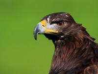Golden Eagle _M2A6772