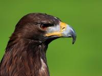 Golden Eagle _M2A6782