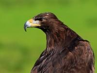 Golden Eagle _M2A6787