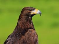Golden Eagle _M2A6794