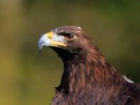 Golden Eagle _M2A6795 copy