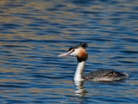 Great Crested Grebe _J4X7361