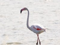 Greater Flamingo _M2A9885