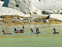 Harlequin Ducks _J4X4982