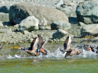 Harlequin Ducks _J4X4983